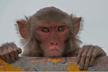 أميركا: إصابة مجموعة قردة بحديقة حيوانات بكورونا