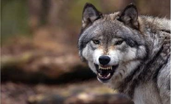 شاهد.. ذئب يتجول داخل حي سكني بمدينة عربية ويثير الرعب