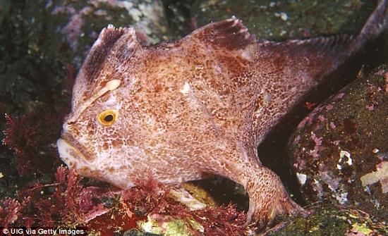 بالصور: أسماك نادرة تسير على أصابعها
