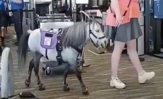 مسافرة تصطحب حصانها معها إلى الطائرة.. لهذا السبب! (فيديو)