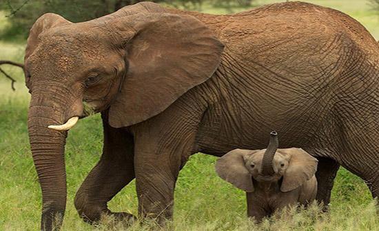 صغير الفيل يتعلم المشي بطريقة مدهشة... فيديو