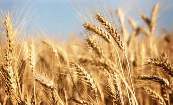 مصدر مسؤول: الأردن يشتري 60 ألف طن من القمح الصلد في مناقصة