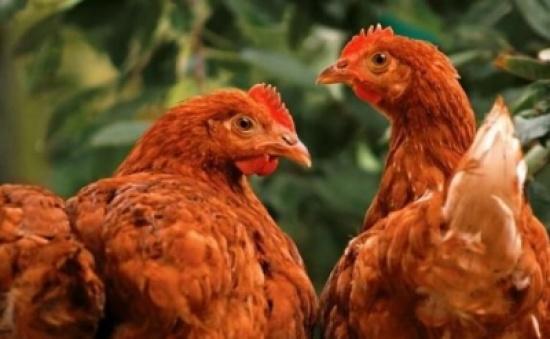 دجاجة تدافع بشجاعة عن صغارها - فيديو