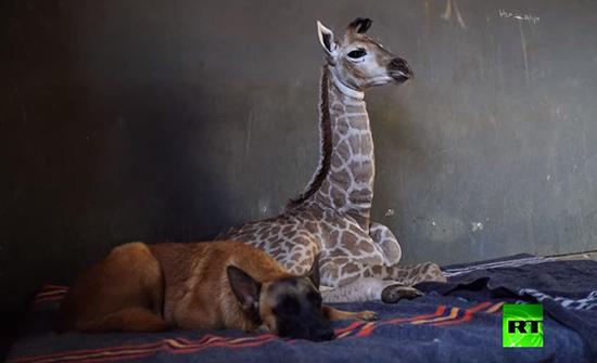 بالفيديو : زرافة تحظى بوفاء كلب في جنوب افريقيا
