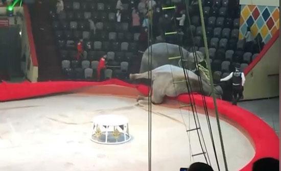فيديو : عراك فيلين في سرك روسي يخرج عن السيطرة