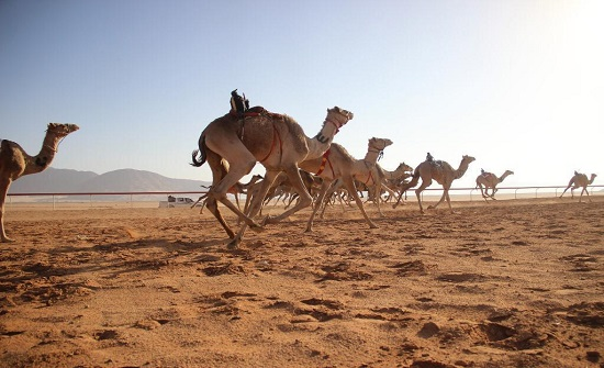 انطلاق فعاليات مهرجان الشيخ زايد لسباق الهجن بوادي رم