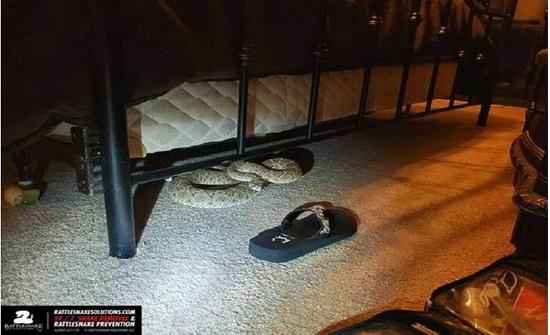 """امريكا : صادم.. زوجان يعثر على أفعى """"عملاقة"""" تحت سريرهما"""