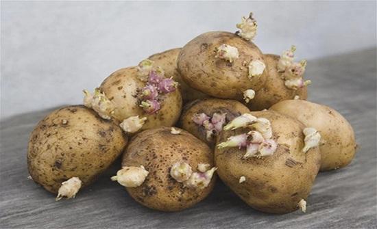 احذر.. هذا مايحدث إذا تناولت البطاطس ذات البراعم