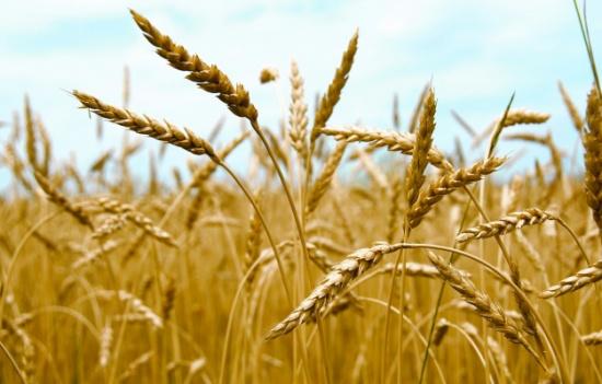 مزارعو القمح بإقليم الشمال يشتكون عدم استقبال محصولهم