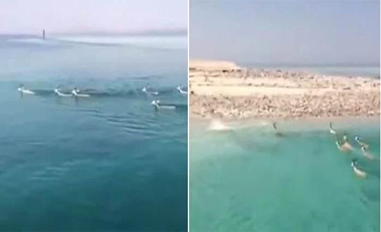 شاهد: فيديو لقطيع غزلان هاجر بحرًا من أفريقيا وحط بتبوك