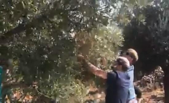 بالفيديو : نائب السفير الامريكي يقطف الزيتون في عجلون