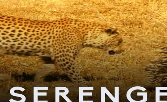 بالفيديو: الفهود تخشى الاقتراب من هذه الحيوانات الصغيرة