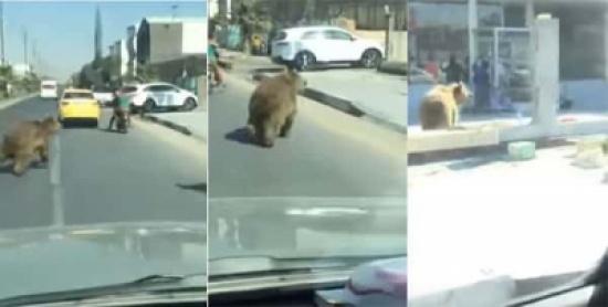 شاهد: دب يتجول في شوارع البصرة بالعراق!