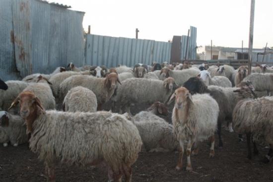 وصول 66 الف رأس من المواشي إلى ميناء العقبة