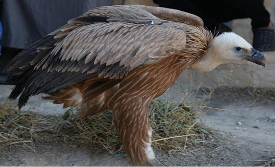 إطلاق طائر النسر البني في محمية ضانا