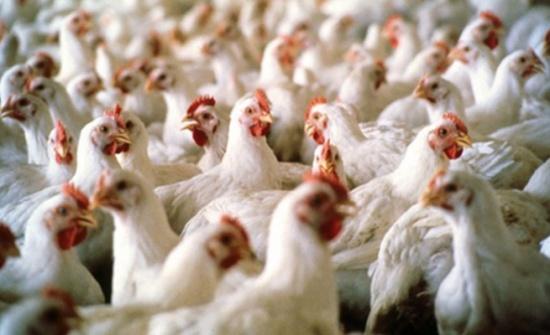4.8% الارتفاع في أسعار باب المزرعة للدجاج اللاحم في 2018