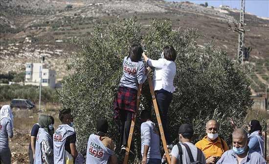 إصابة عشرات الفلسطينيين خلال قمع الاحتلال لمشاركين بقطف الزيتون