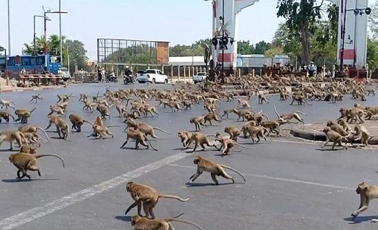 """""""حرب عصابات"""" بين مئات القرود في مدينة تايلندية تعرقل حركة المرور- (شاهد)"""