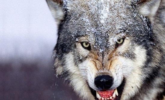 مواطن في تبوك يستعين بذئب لترهيب زوجته
