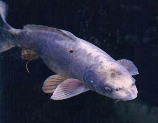 human hybrid carp face