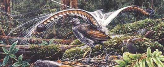 Supreme Lyrebird: the copypaste bird