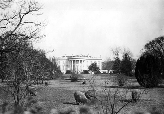 white house lawn with sheep