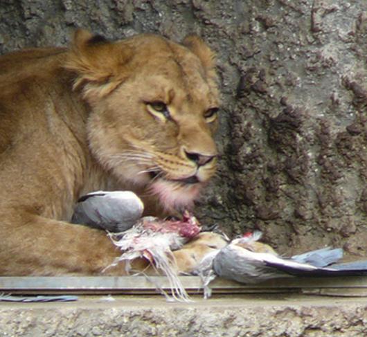 lion_grabs_heron_530.jpg
