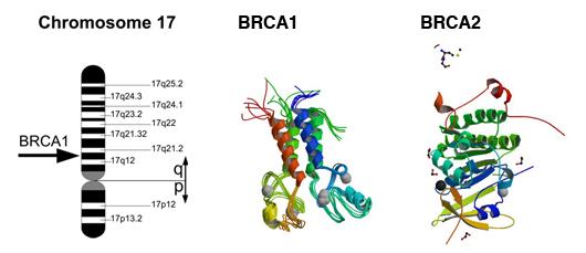 BRCA1 - Wikipedia