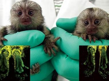 glowing marmoset monkeys