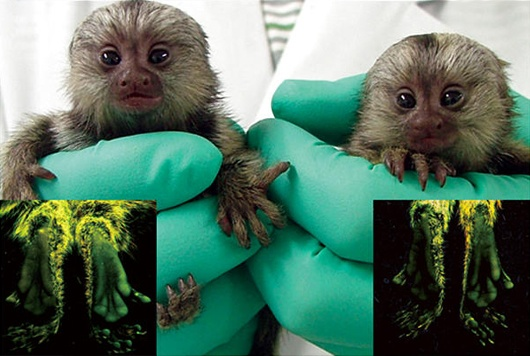 glowing marmoset monkeys