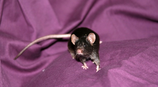 iPS mouse