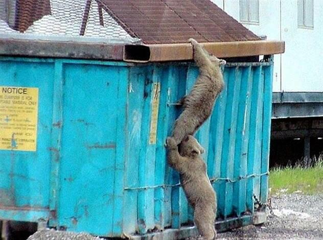 bears dumpster diving