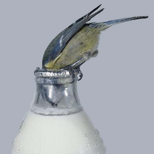 urbanbirds_drinks_milk