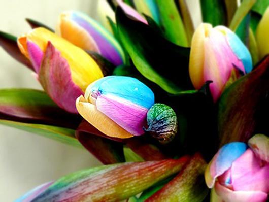 rainbow_tulp_530