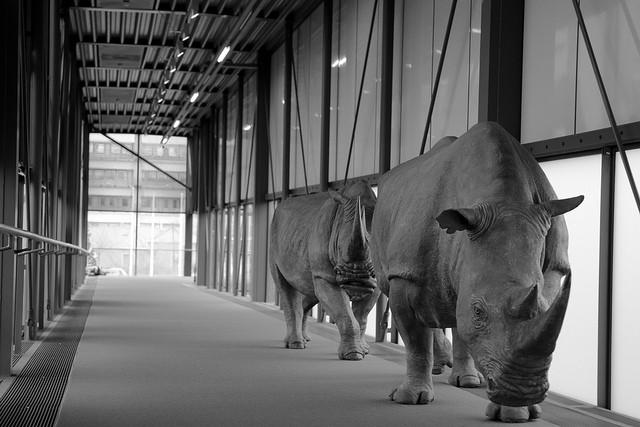 rhinos naturalis