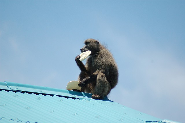 baboon eating bread