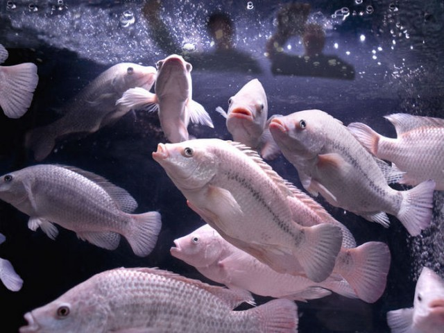 tilapia swimming in tank
