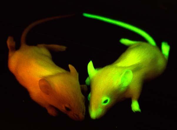 GFP mice