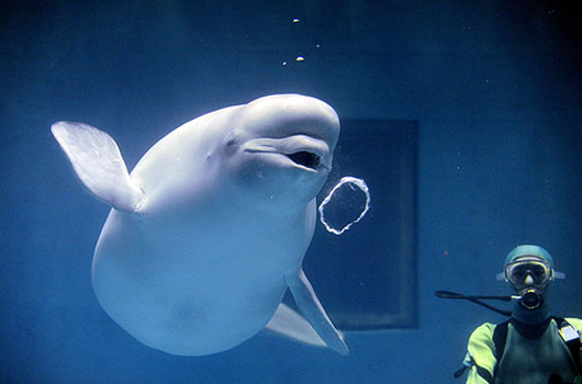beluga bubble ring