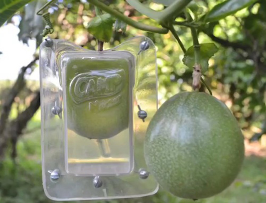 growing fruit into packaging