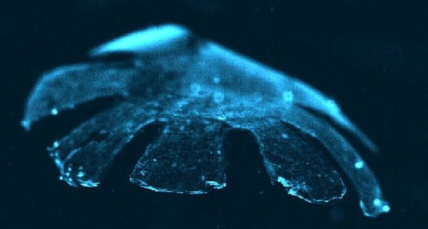 A+picture+released+on+July+22,+2012+shows+an+artificial+jellyfish+replica+made+from+silicone+polymer+and+rat+heart+cells