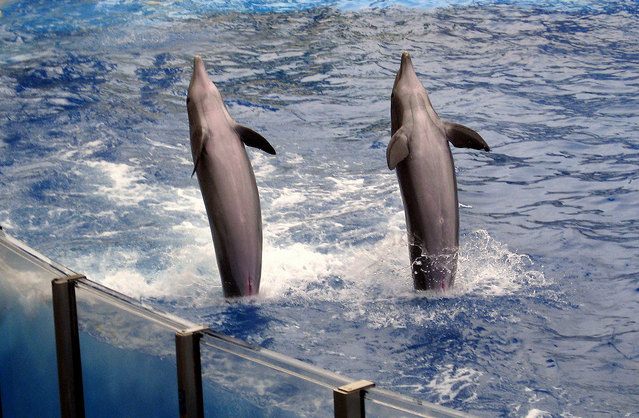dolphins tail walking cultural transmission
