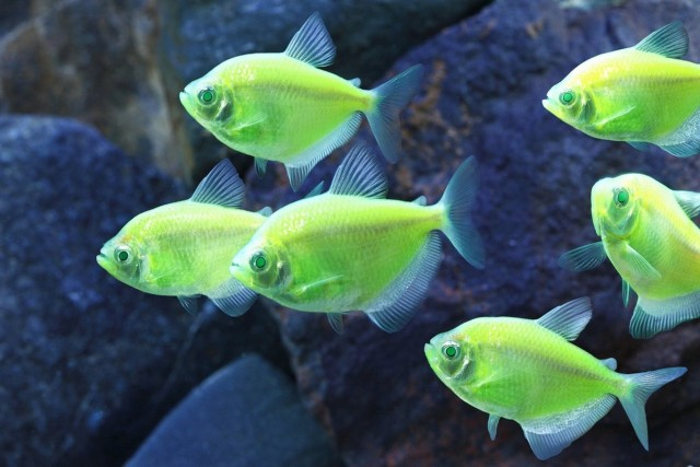 GloFish_Electric_Green_Tetra_HighRes1