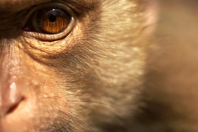 rhesus monkey brain implant