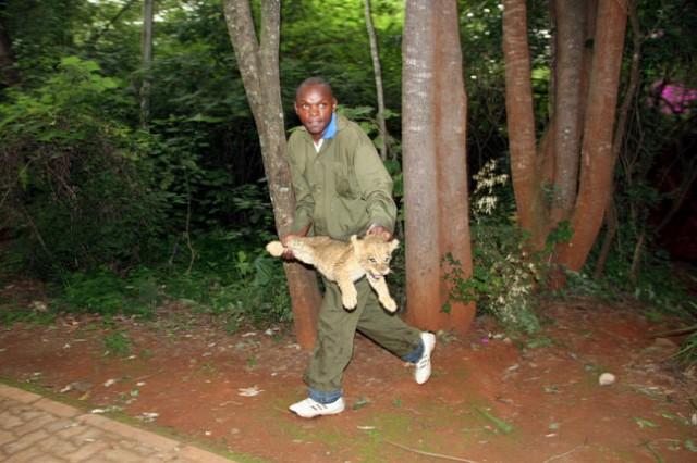 suburban lion cub
