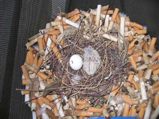 cigarette-butt-bird-nest