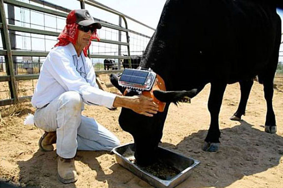 cow fitted with GPS device to control its behavior