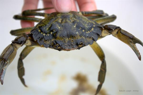 european green crab restores salt marshes