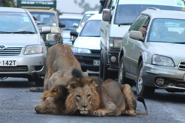 nairobi lions prepare for hunt