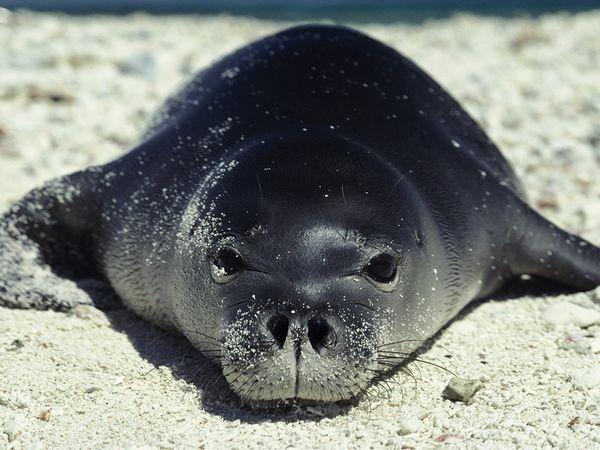 monk-seal_632_600x450